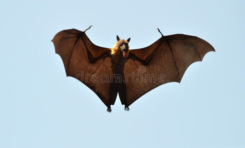 Schläger oder Fliegen-Hund stockfotos