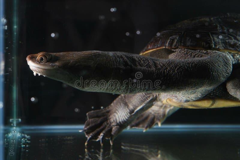 Schlängeln Sie sich Hauptschildkröte mit einem langen Schildkrötenkopf stockfoto