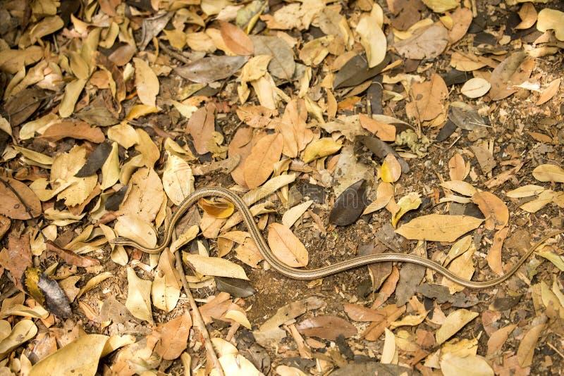 schlängeln Sie sich vermutlich Klasse Liophidium, Reservierung Ankarana, Madagaskar stockbild
