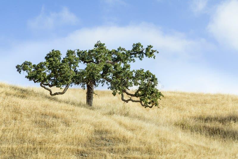 Schlängelnder Baum und goldenes Gras - Marin County, Kalifornien lizenzfreies stockfoto