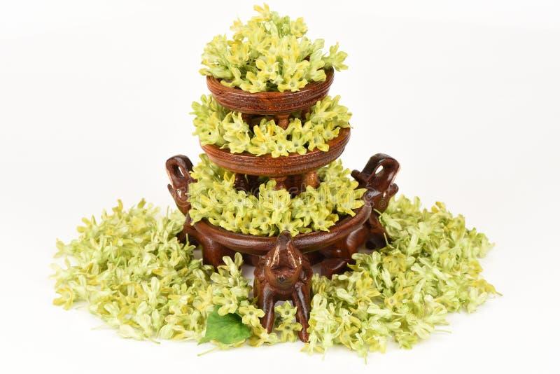 Schlüsselblume-Kriechpflanze (Telosma geringes Craib) aromatisch stockfotos