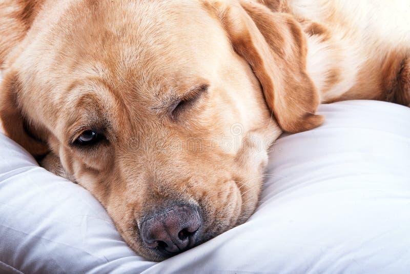 Schlaf Labrador lizenzfreies stockbild