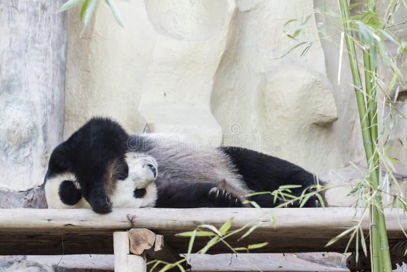 Schlafen des riesigen Pandas stockbilder