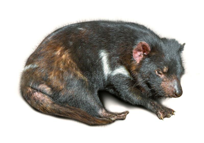 Schlafen des tasmanischen Teufels lizenzfreie stockbilder