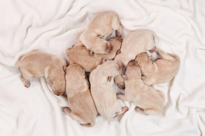 Schlafen mit acht neugeborenes gelbes Labrador-Hündchen lizenzfreie stockfotos