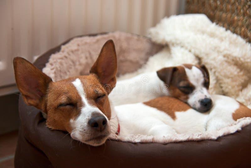 Schlafen mit zwei Terriern Jack-Russell stockfotos