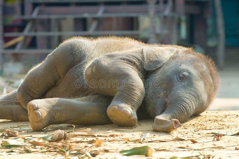 Schlafen, siamesischer Kalb-Elefant lizenzfreie stockfotos