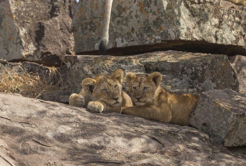 Schlafender Lion Cubs am Masai Mara National Park lizenzfreie stockbilder