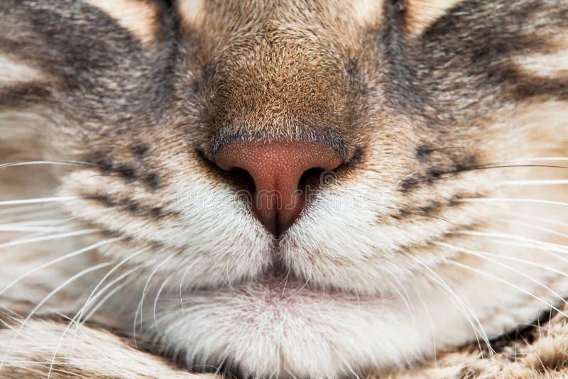 Schlafendes erfülltes der Katzennasenschnurrbart-Nahaufnahme stockbild