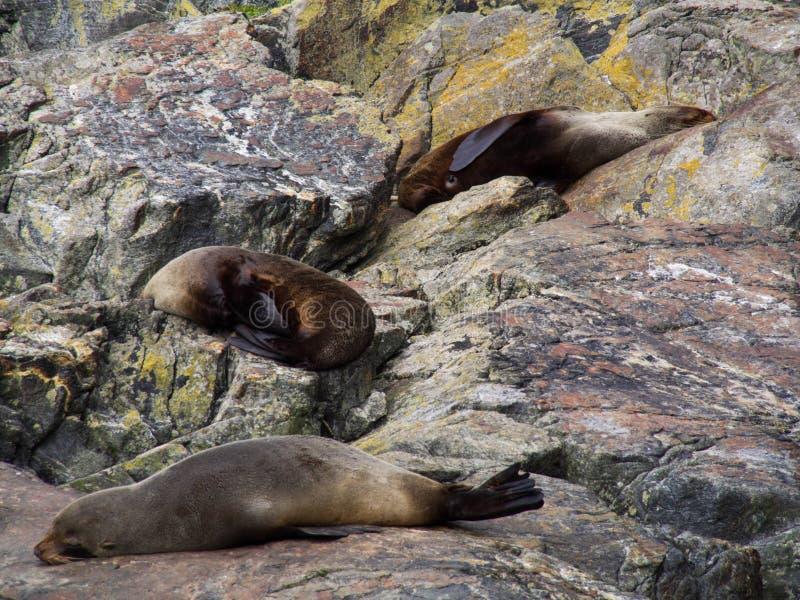 Schlafendichtungen auf dem Felsen beim Milford Sound, Nationalpark Fiordland, Süden, Neuseeland-Südinsel lizenzfreies stockfoto