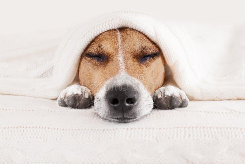 Schlafenhund im Bett stockfotos