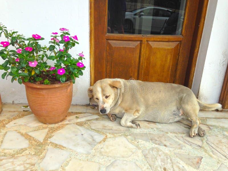 Schlafenhund REis stockbild
