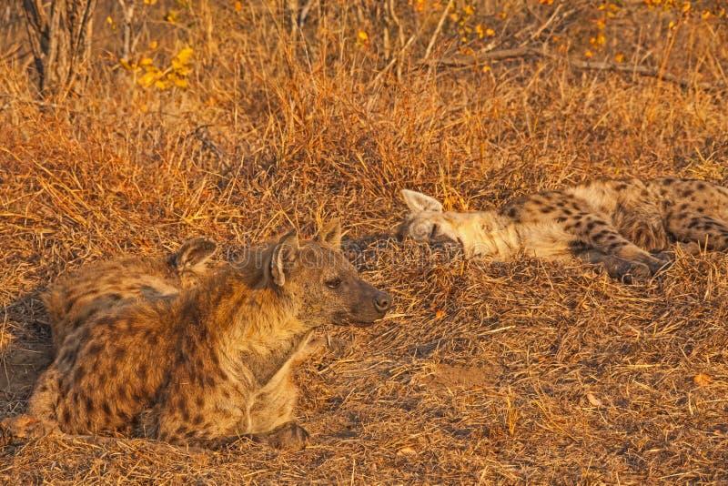 Schlafenhyänen in Nationalpark Kruger Südafrika 4 stockfotos