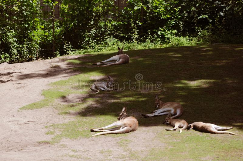 Schlafenkänguruh im Berlin-Zoo stockbilder