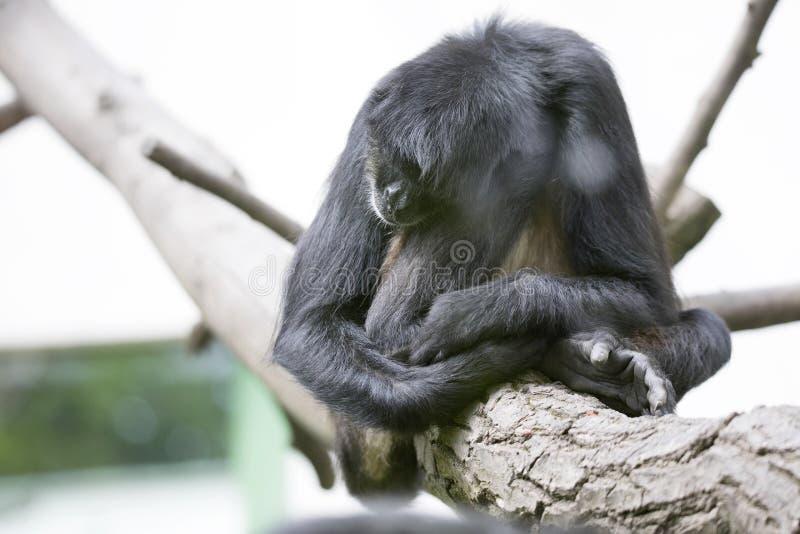 Schlafenklammeraffe, Ateles geoffroyi vellerosus lizenzfreies stockbild
