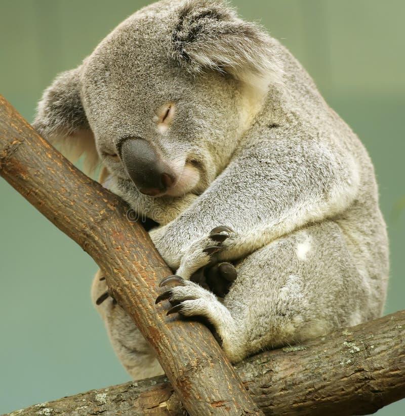 Schlafenkoala lizenzfreies stockfoto