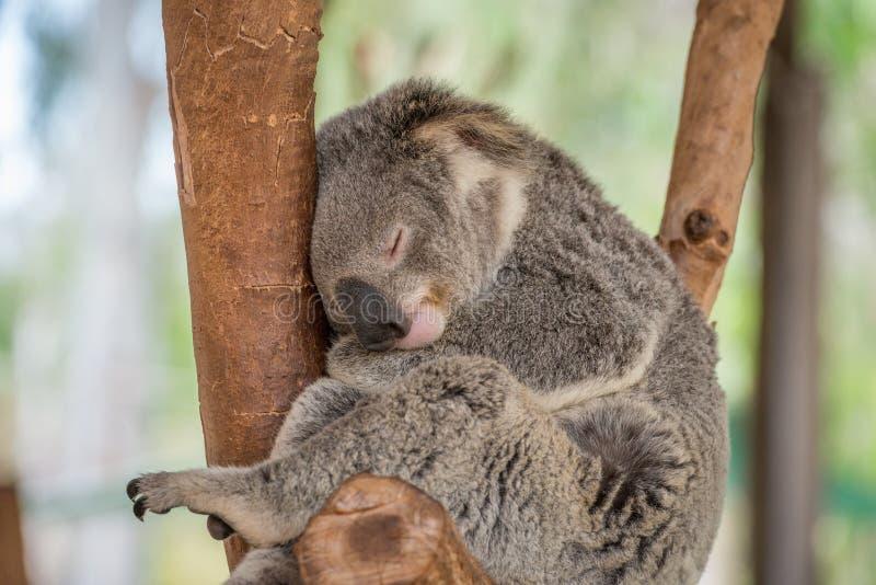Schlafenkoala-Bär stockbilder