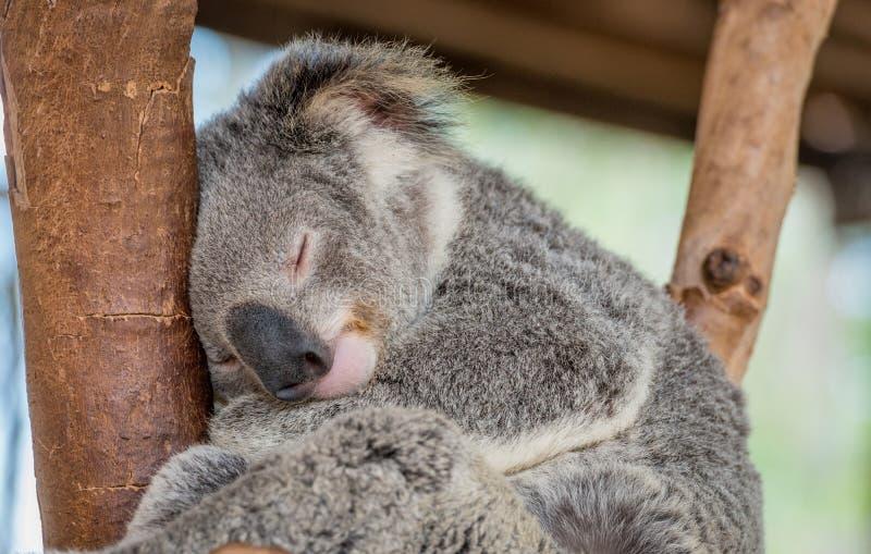 Schlafenkoala-Bär lizenzfreies stockbild