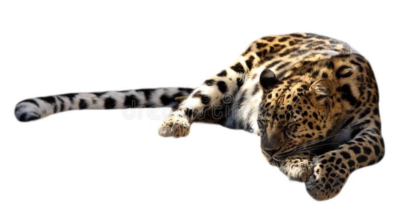 Schlafenleopard lizenzfreie stockfotos