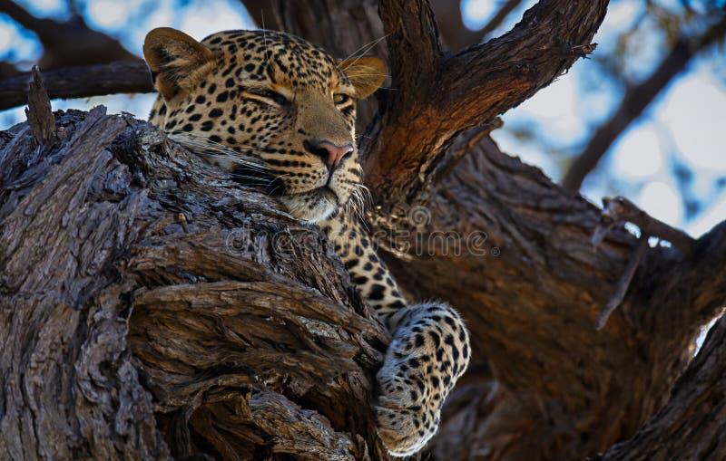 Schlafenleopard stockbild