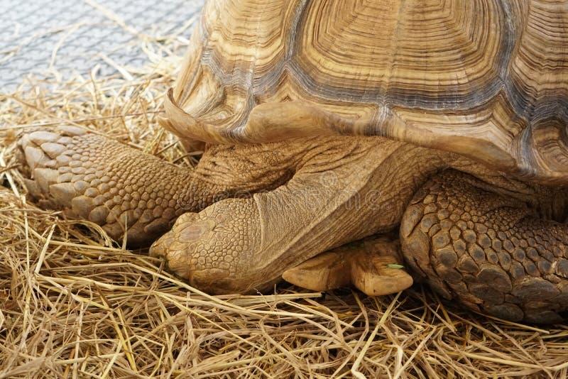 Schlafenschildkröte stockfoto
