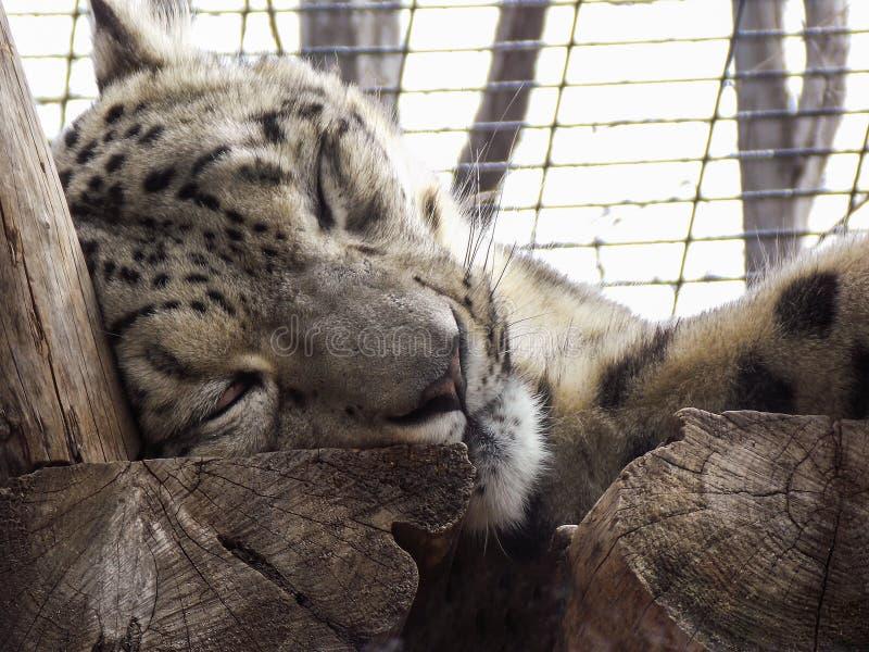 Schlafenschnee-Leopard stockbilder