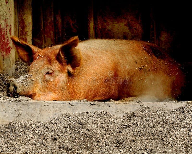 Schlafenschwein stockfoto