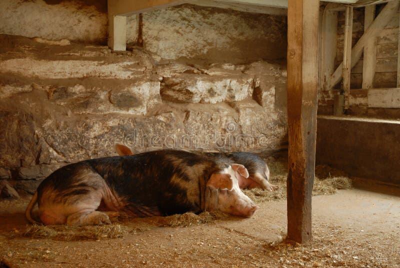 Schlafenschwein lizenzfreies stockfoto