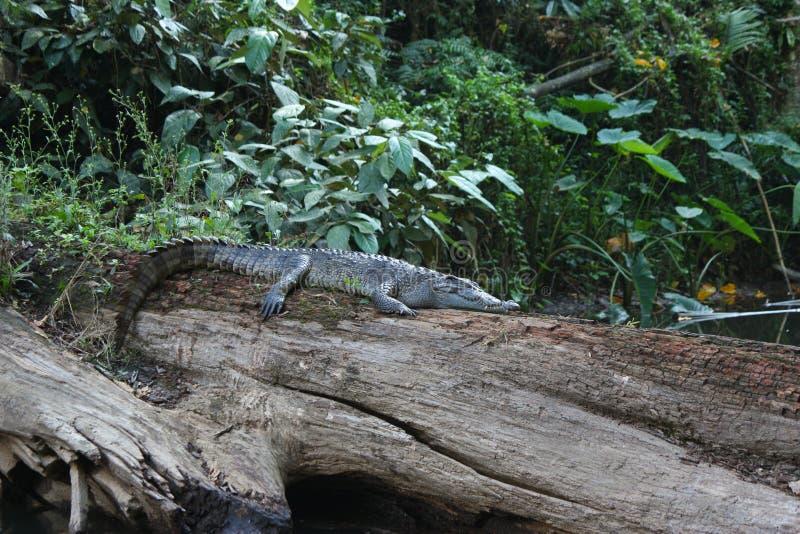 Schlafensiamesisches Krokodil lizenzfreie stockbilder