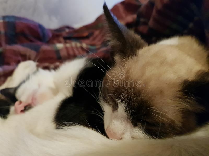 Schlafgraues Kätzchen lizenzfreie stockbilder