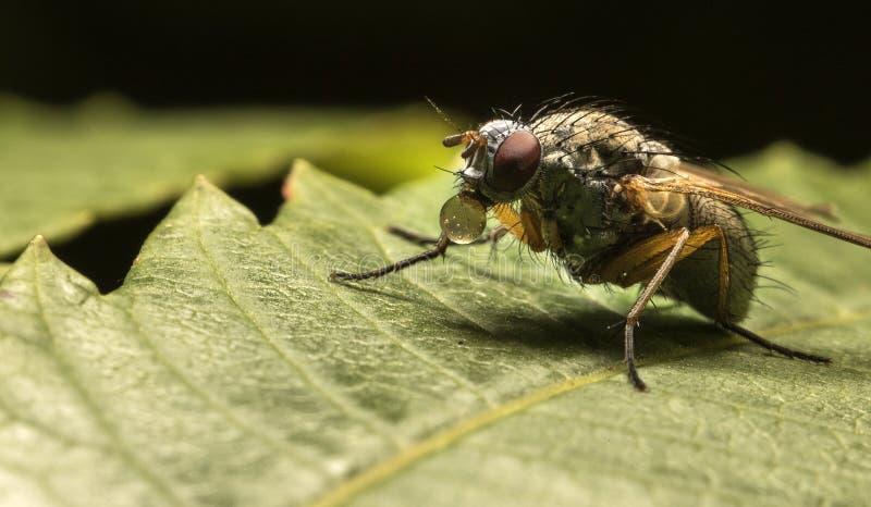 Schlagblasen der Fliege stockfoto