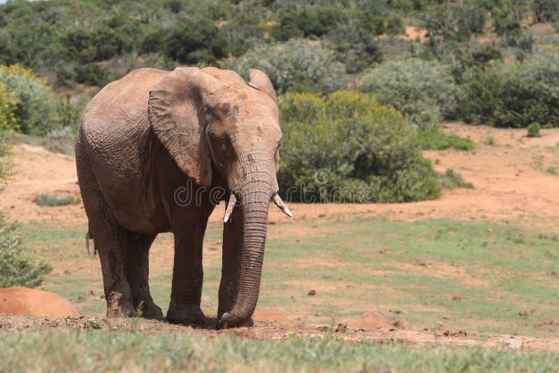 Schlammiger Elefant lizenzfreie stockfotos