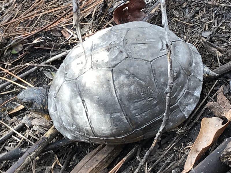 Schlammschildkröte lizenzfreie stockbilder