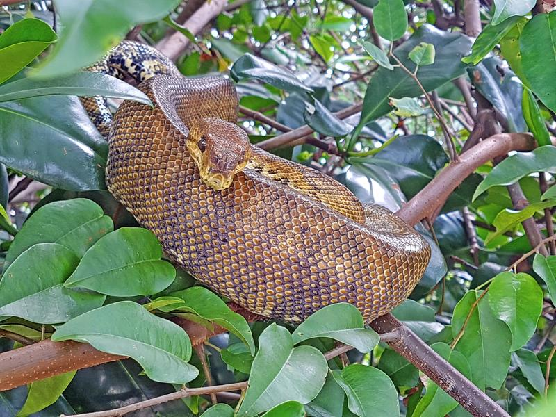 Schlange, die in den Mangroven ein Schläfchen hält lizenzfreie stockfotos