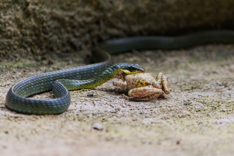 Schlange, die Frosch isst lizenzfreies stockfoto