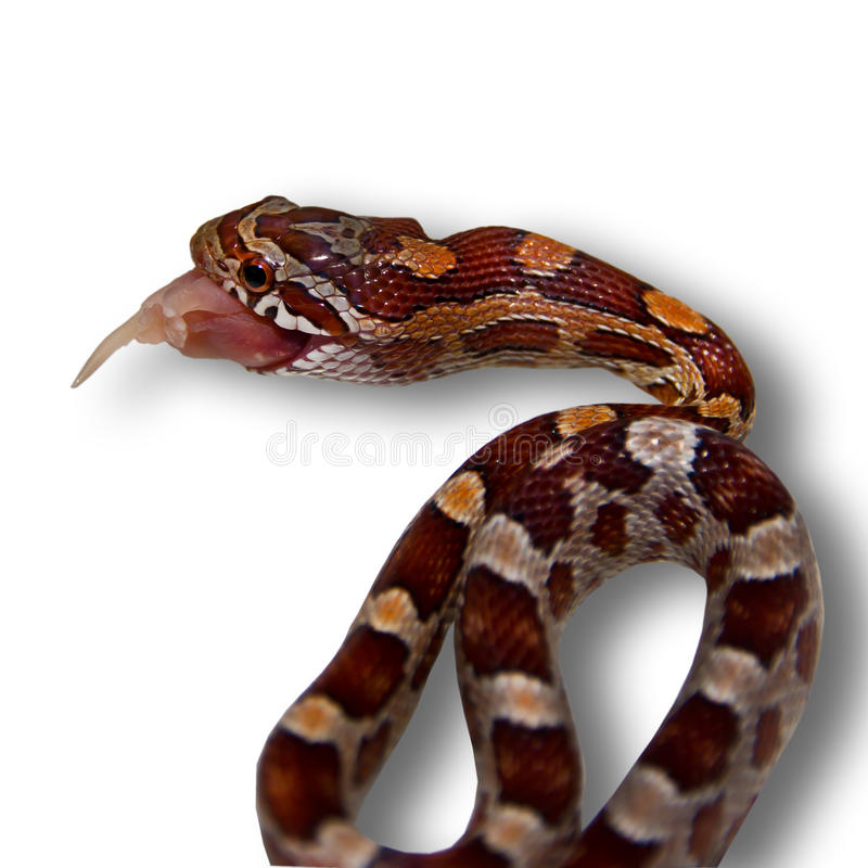 Schlange, die Maus isst stockbilder