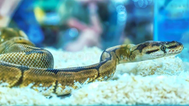 Schlange ist Haustier stockfoto