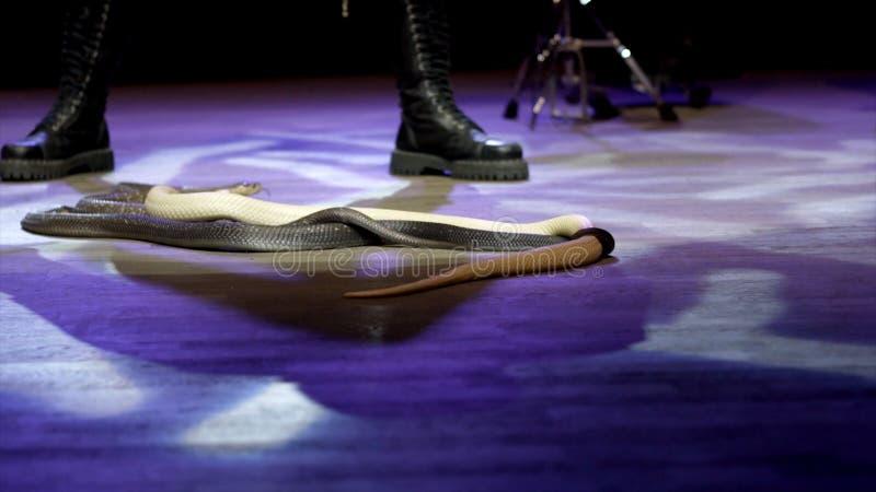 Schlangenbeschwörer im Zirkus t?tigkeit Nahaufnahme des Schlangenbeschwörers steuert Kobra in der Zirkusarena während der Leistun stockfotografie