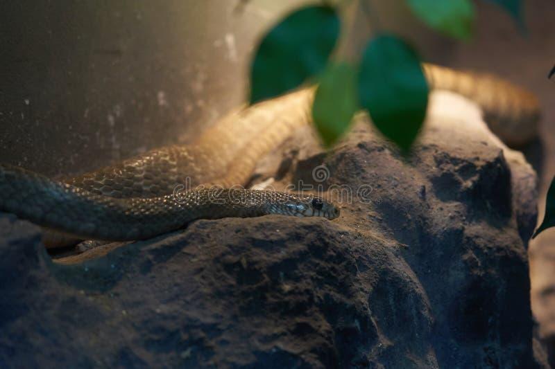 Schlangenkopf legen sich auf Felsen hin, um sich für Jagdopfer zu verstecken stockfotografie