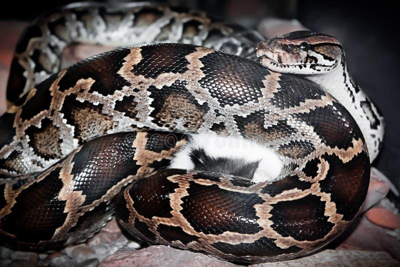 Schlangenspiel mit der Maus lizenzfreie stockfotografie