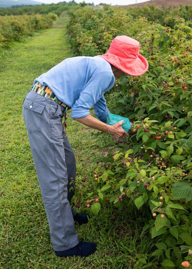 Schlanke ältere Frau im dunklen rosa Hut, der Himbeeren in einem Obstgarten auswählt stockfotografie