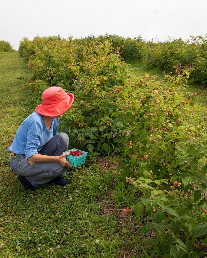 Schlanke ältere Frau im dunklen rosa Hut, der Himbeeren in einem Obstgarten auswählt lizenzfreies stockbild