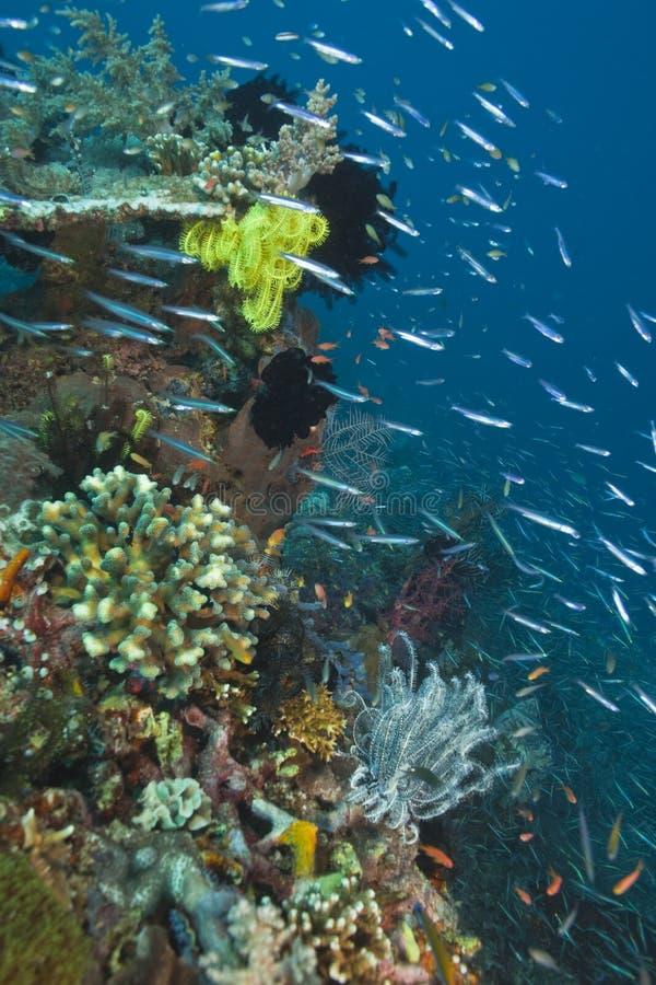 Schlanke Silversidefische lizenzfreies stockfoto