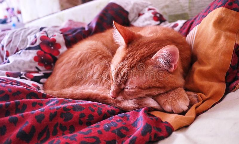 Schlauer flüchtiger Blick ein Ingwer a Rote Katze, die in einer gemütlichen Position auf dem Bett schläft stockfotografie