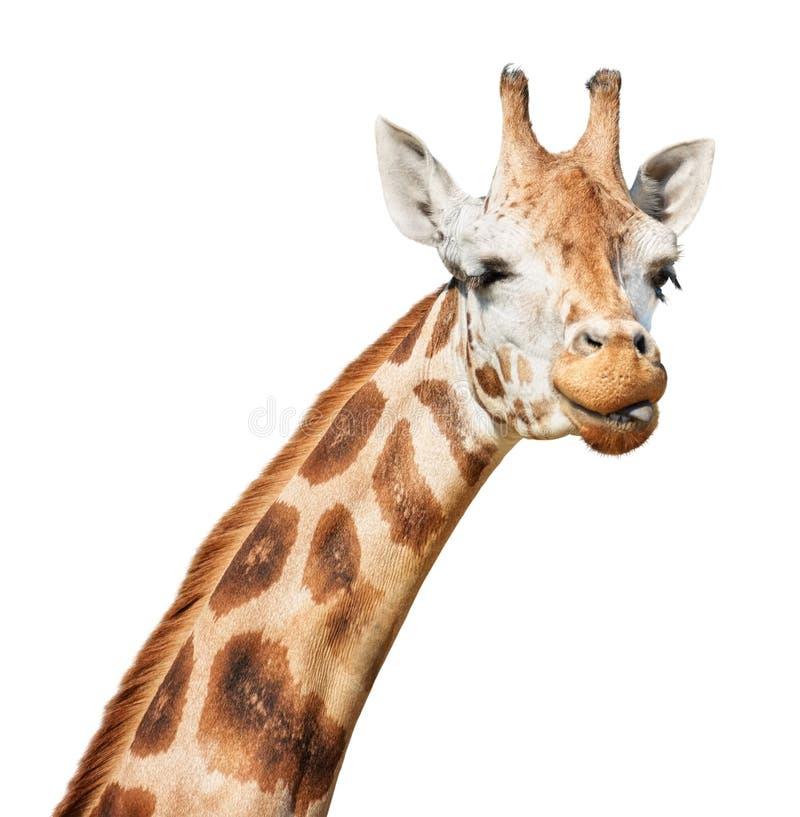 Schlaues Hauptc$blinzeln der Giraffe heraus gesetzt seinem Zungeblick stockbild