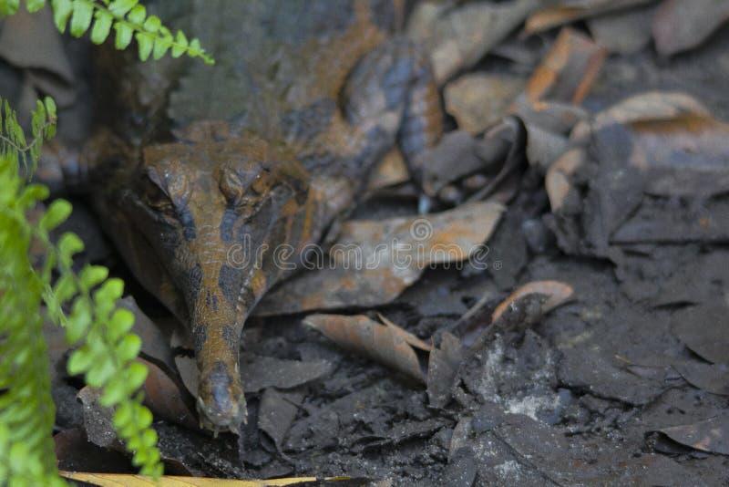 Schlegelii van krokodil senyulong tomistoma stock afbeelding