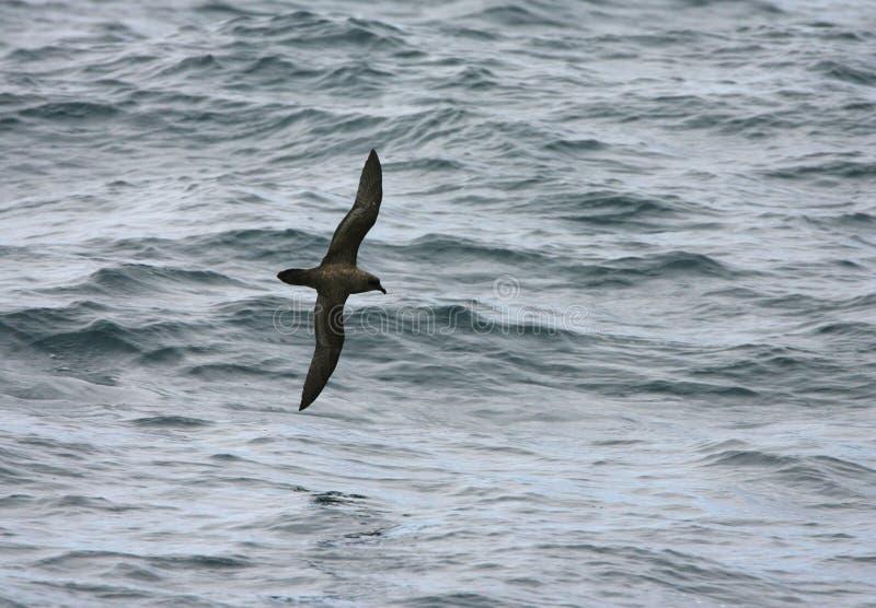 Schlegels Stormvogel, petrel atlántico, incerta de Pterodroma foto de archivo