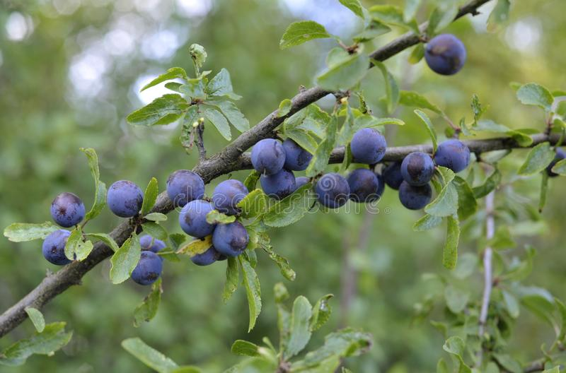 Schlehen, Frucht des Schlehdorns lizenzfreies stockbild