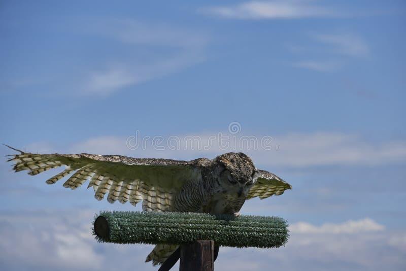 Schleiereule, die unten beugt und seine Flügel mit geschlossenen Augen verbreitet stockfotos