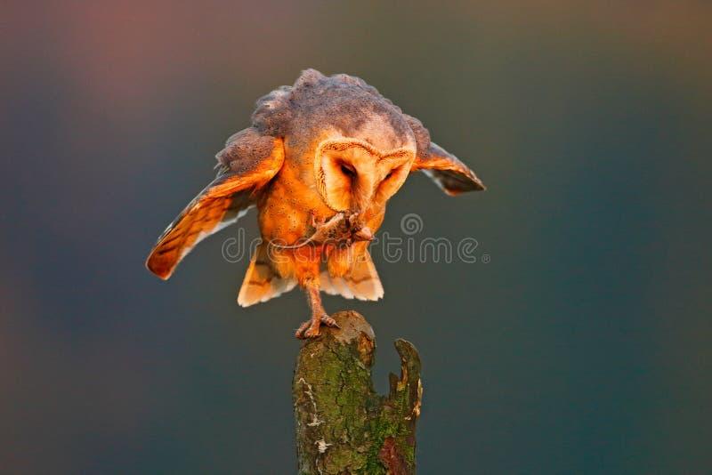 Schleiereule mit Fangmaus Vogel im netten orange Licht Herbstwald, schöner Vogel Eule, Tierszene der wild lebenden Tiere, Natur O lizenzfreies stockbild